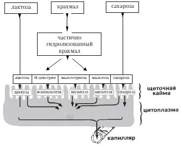 Переваривание углеводов